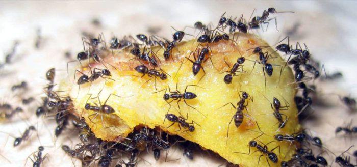 Ocjena najboljih lijekova protiv mrava u 2020