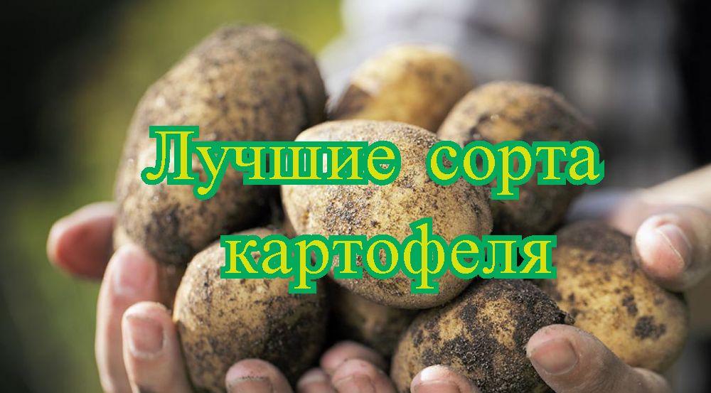 Ocjena najboljih sorti krumpira za 2020. godinu