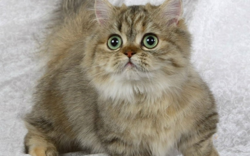 Рейтинг на най-добрите породи котки джуджета за 2020 г.